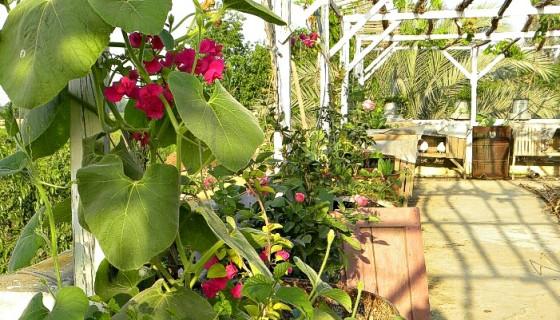 aishasoasis rooftop garden in egypt