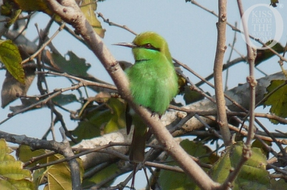 001_Egypt__Birds_of_Egypt___quot_Cleopatra__quot__The_Green_Bee_Eater__Kiss_From_The_World_travel_and_people_magazine