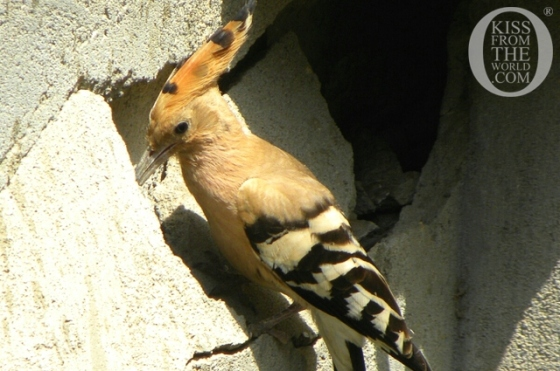 001_Egypt__Birds_of_Egypt___quot_Hud_Hud__quot__The_Hoopoe_Kiss_From_The_World_travel_and_people_magazine